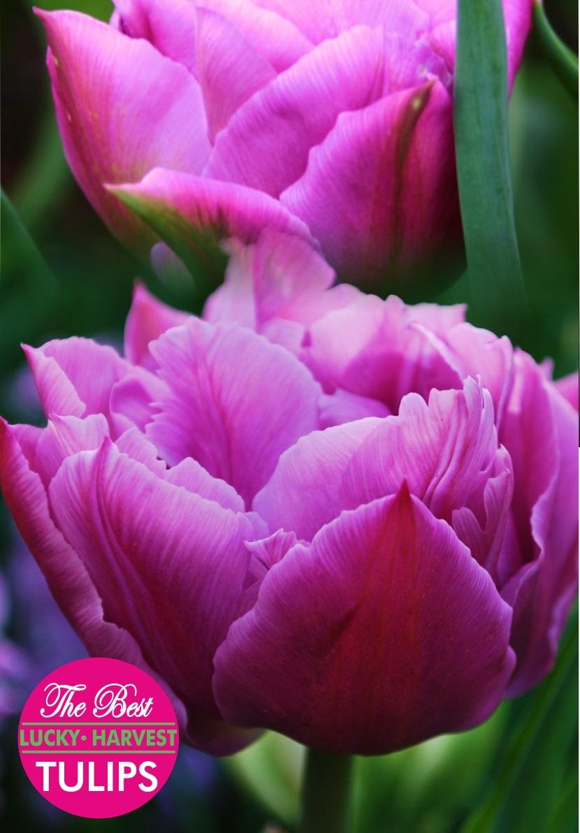 Тюльпан Махровый ранний Double Price (Дабл Прайс) Украина 5 шт
