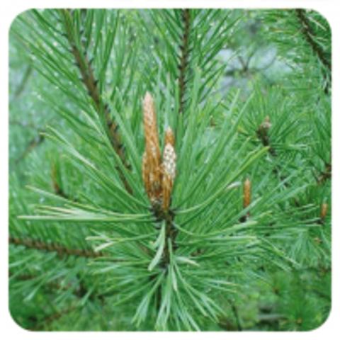 «Сосна», натуральное эфирное масло/ Pinus sylvestris.