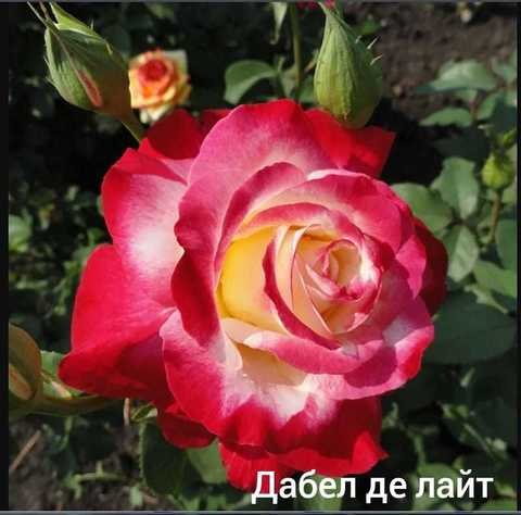 Роза флорибунда Дабл Делайт С3