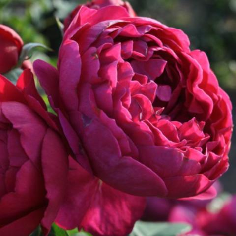 Роза чайно-гибридная Аскот С6