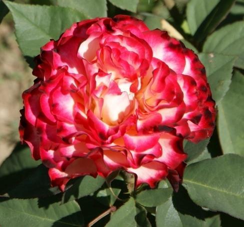 Роза чайно-гибридная Испанский танец