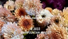 Хризантема мультифлора  Branfountain Apricot №2033