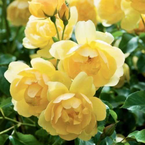 Роза английская Баттеркап Северный огород
