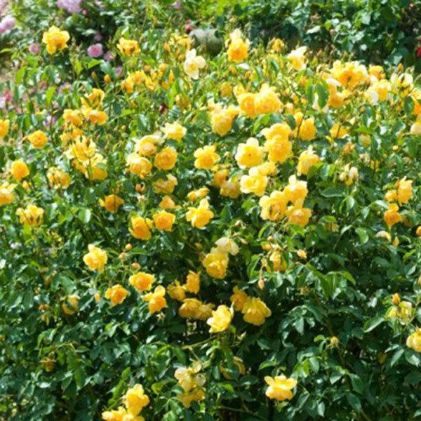 Роза английская Баттеркап Buttercup