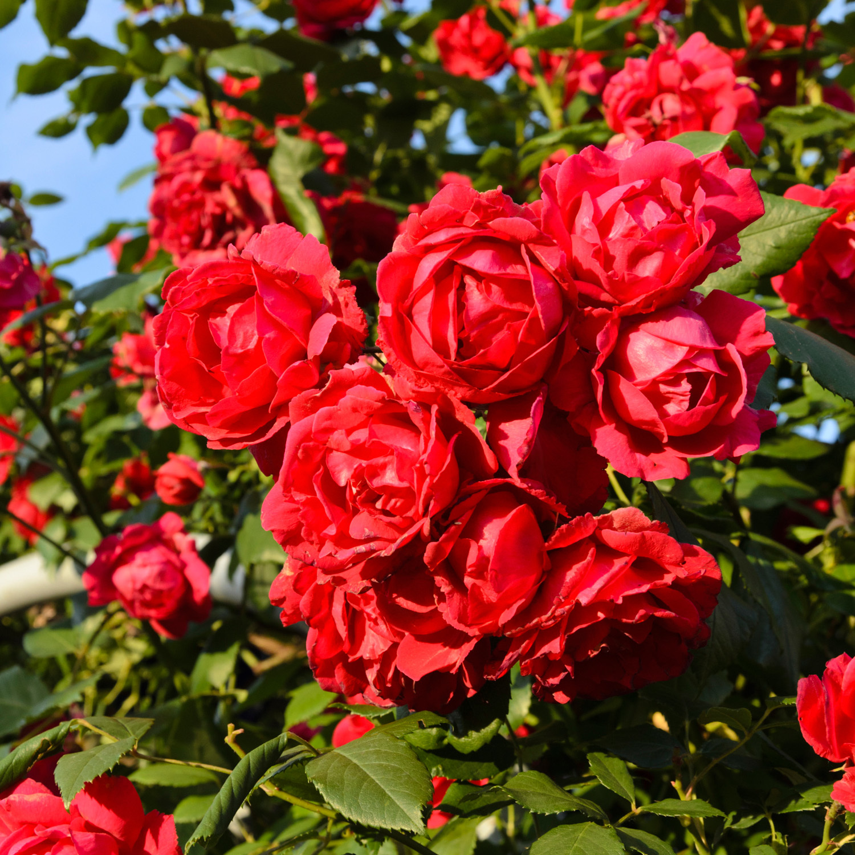 Роза плетистая Пауль Скарлет