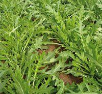 Руккола Триция семена рукколы (Enza Zaden / Энза Заден) Триция_семена_овощей_оптом.jpg