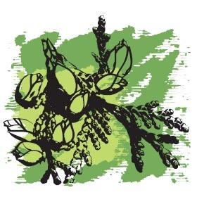 Эфирное масло Туя, органик