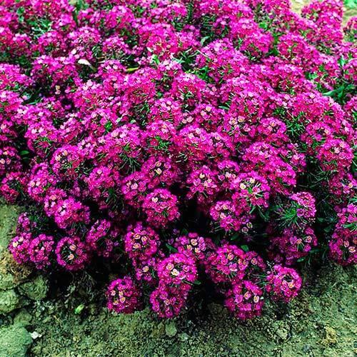 PanAmerican Seed Семена цветов Алиссум  Клеа Кристал Парпл Шейдес, PanAmeriСan Seed, 50 шт. Алиссум-Клеа-Кристал-Парпл-Шейдес2-САЙТ.jpg