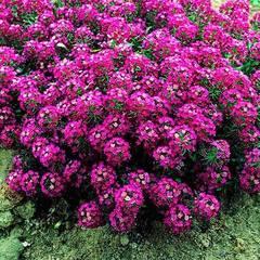 Семена цветов Алиссум  Клеа Кристал Парпл Шейдес, PanAmeriСan Seed, 50 шт.