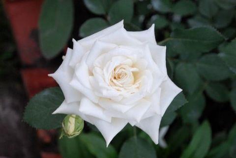 Роза чайно-гибридная Тру Лав (в тубе)