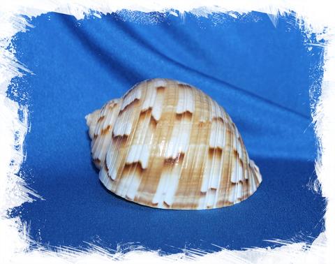Тонна китайская (Tonna chinensis)