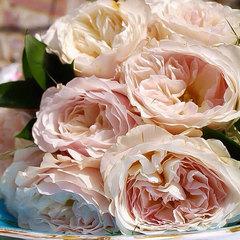 Купить Роза английская Кейра