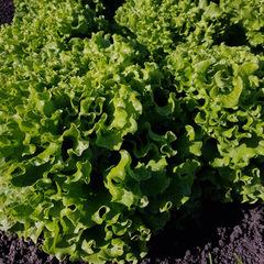 Аннисоль семена салата батавия (Syngenta / Сингента)
