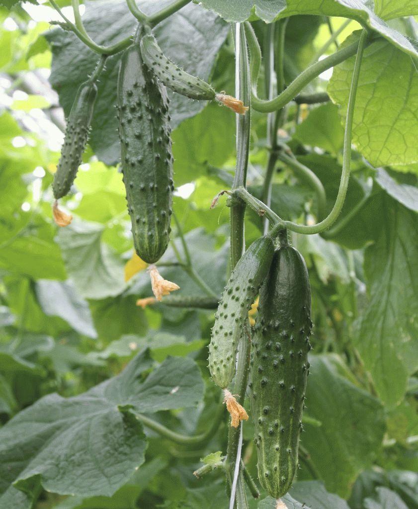 Гавриш Картель F1 семена огурца пчелоопыляемого (Гавриш) Картель_2_семена_овощей_оптом_семена_овощей_оптом_семена_овощей_оптом.jpg