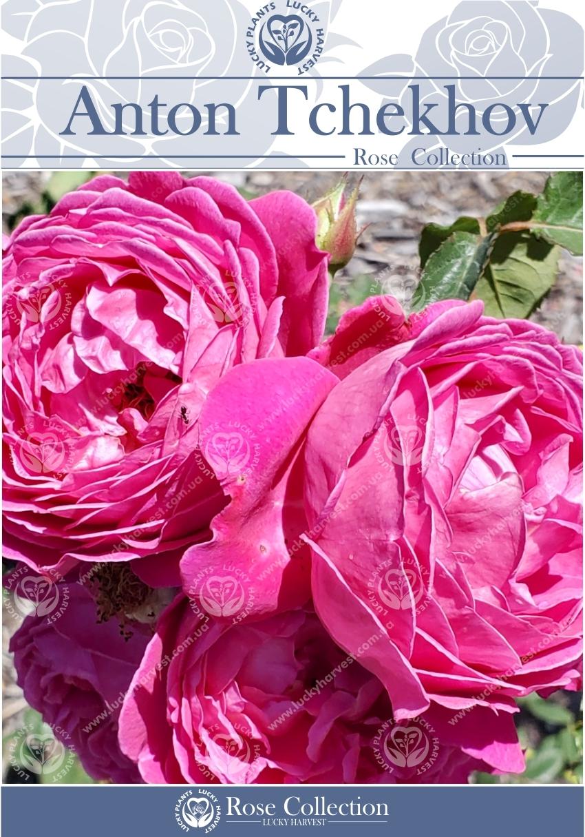 Троянда Чайно-Гібридна