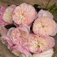 Роза английская Кейра СевОгород