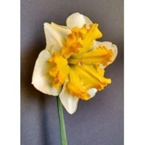 Нарцисс с расщепленной коронкой Соверейн 12/14 (5 штук)
