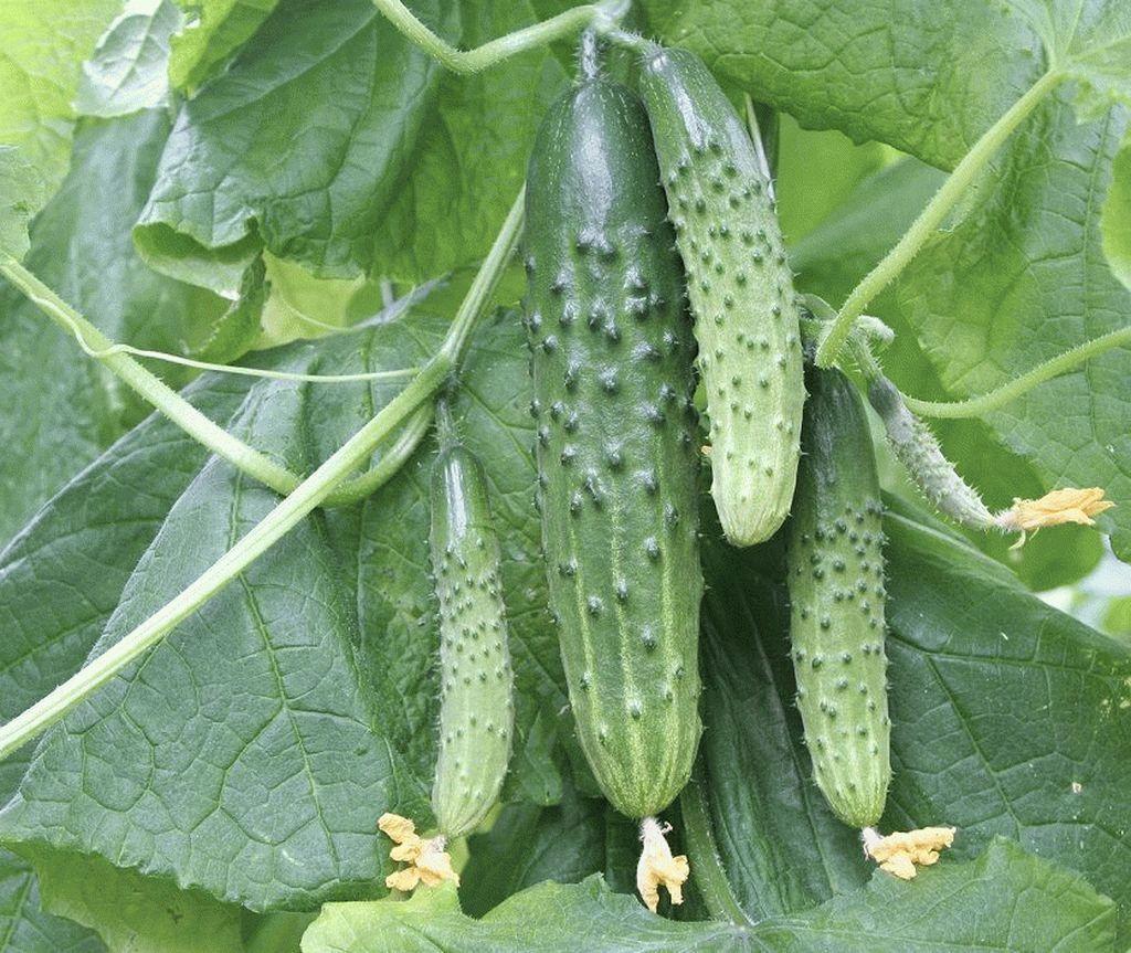 Гавриш Магнит F1 семена огурца пчелоопыляемого (Гавриш) Магнит_2_семена_овощей_оптом_семена_овощей_оптом_семена_овощей_оптом.jpg