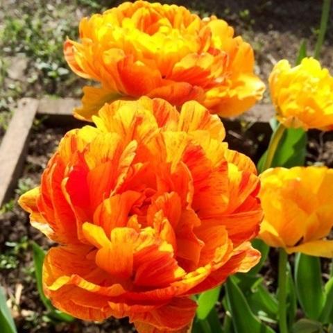 Тюльпан махровый поздний Дабл Бьюти ов Апелдорн