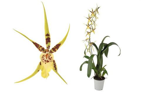 Брассия (Орхидея)