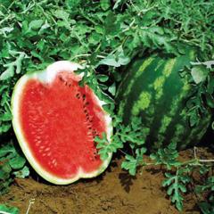 Рубикон F1 семена арбуза (Гавриш)