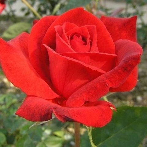 Роза чайно-гибридная Литке С3