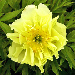 Пион Yellow Waterlily