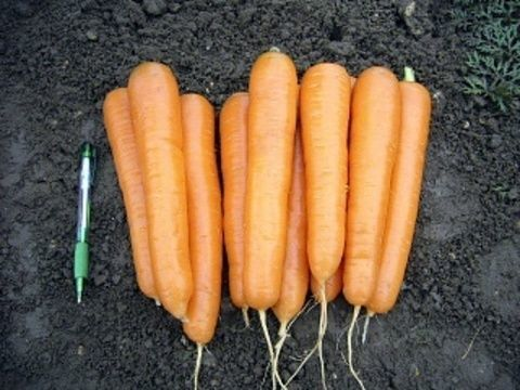 Нантская Аттилио F1 семена моркови нантской (Vilmorin / Вильморин) Аттилио_F1_семена_овощей_оптом.JPG