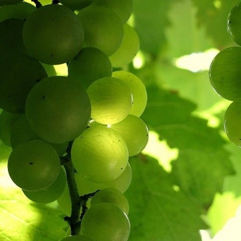 Виноград Мама (зеленый) ЗКС