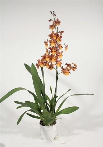 Камбрия (Орхидея)