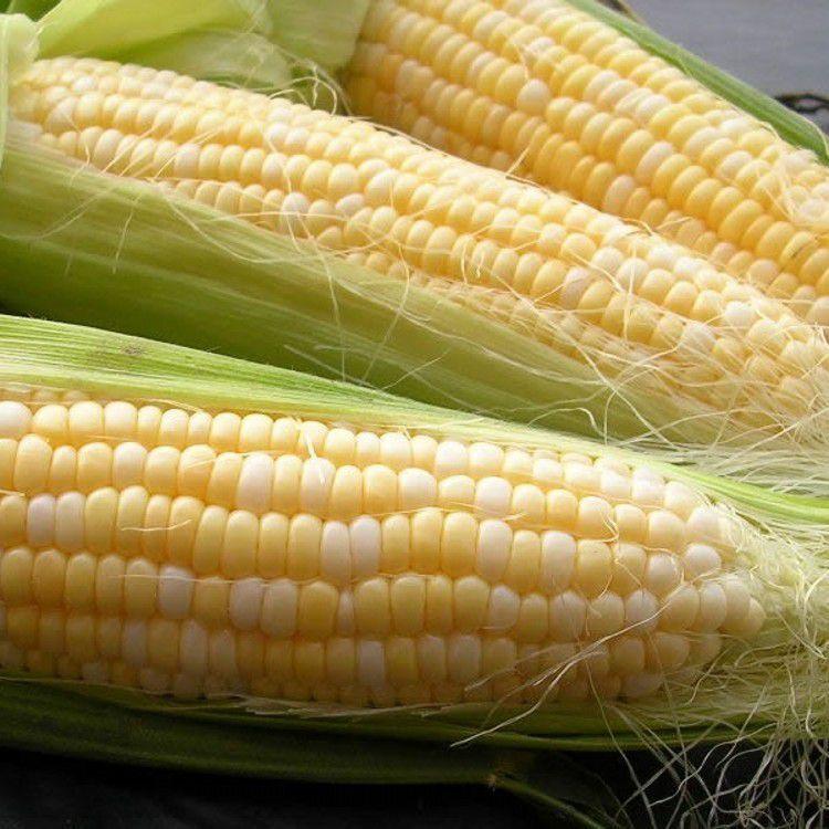 Кукуруза Кокани F1 семена кукурузы (Clause / Клос) Кокани_F1_семена_овощей_оптом.jpg