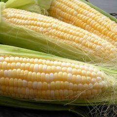Кокани F1 семена кукурузы (Clause / Клос)