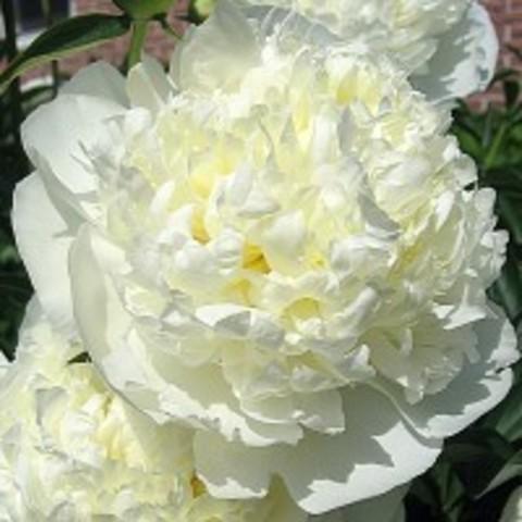 Пион молочноцветковый Дюшес де Немур С5