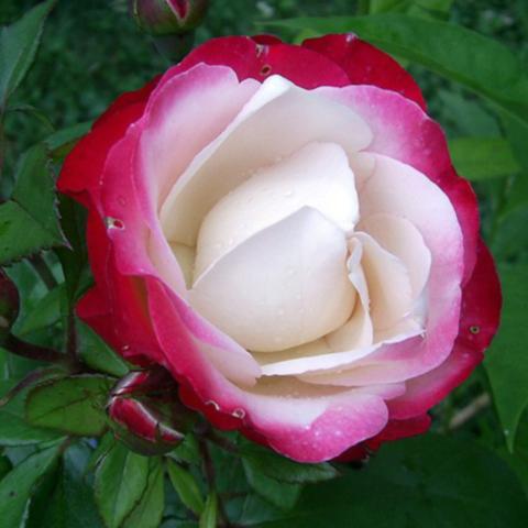 Роза чайно-гибридная Ностальжи С6