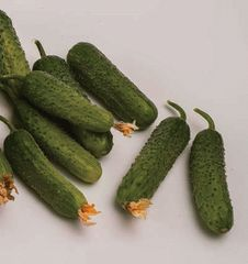 Сатина F1 семена огурца партенокарпического (Nunhems / Нюнемс)