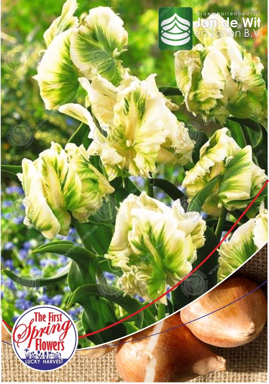Луковицы  Попугайного Позднего  Тюльпана