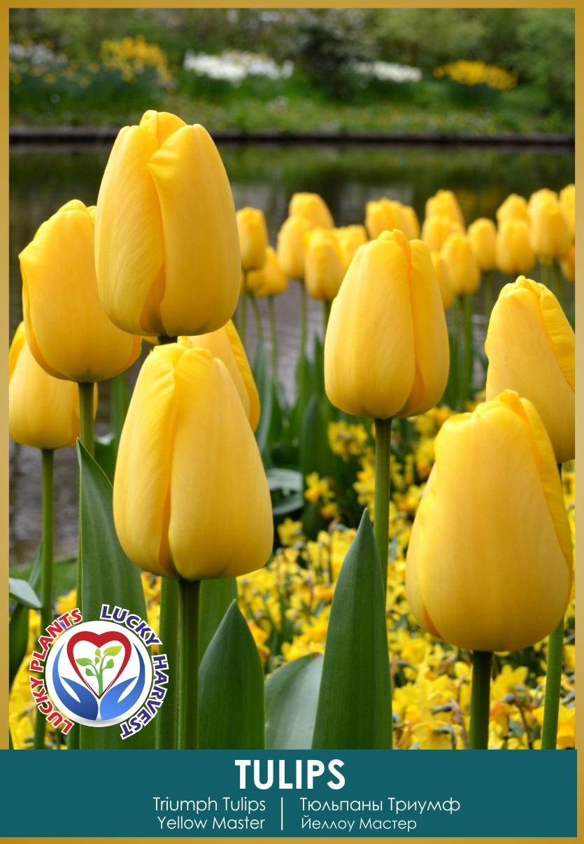 Луковицы  Тюльпана Триумф  Йеллоу Мастер ( Triumph 'Yellow Master') ТМ LUCKY HARVEST