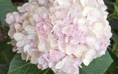 Гортензия крупнолистовая  (цветёт всё лето) Брайд