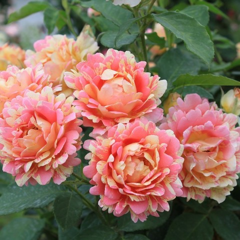 Роз дэ систэрсьан. Rose des Cisterciens.