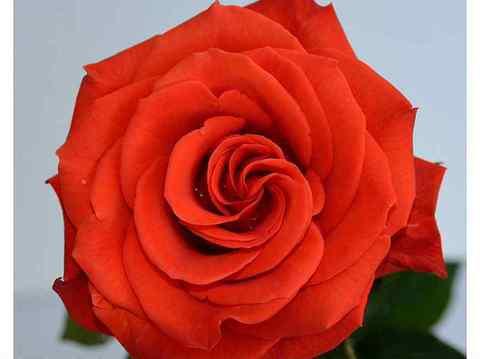 Роза чайно-гибридная Сантана (в тубе)