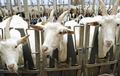 внутренняя | Доильный зал для коз/овец