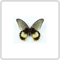 Papilio Memnon – Папирусник Мемнон