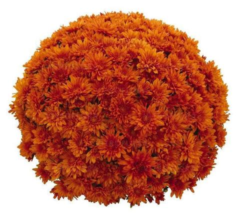 Хризантема мультифлора  Sunbeam Orange N 2091