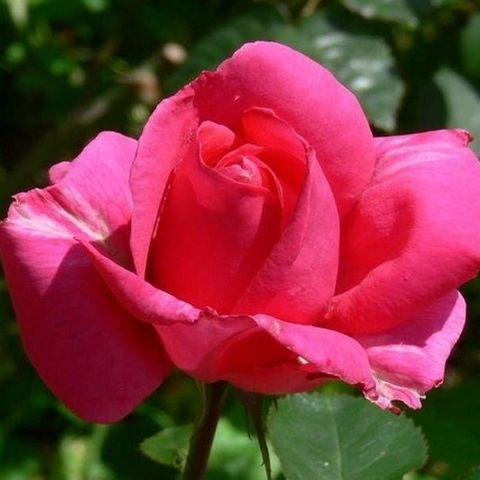 Роза чайно-гибридная Критерион С6