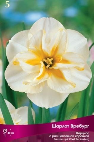 Нарцисс с расщепленной коронкой Шарлот Вребург 12/14 (5 штук)