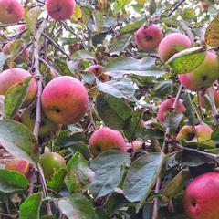 Яблоки свежие сезонные деревенские / 1 кг