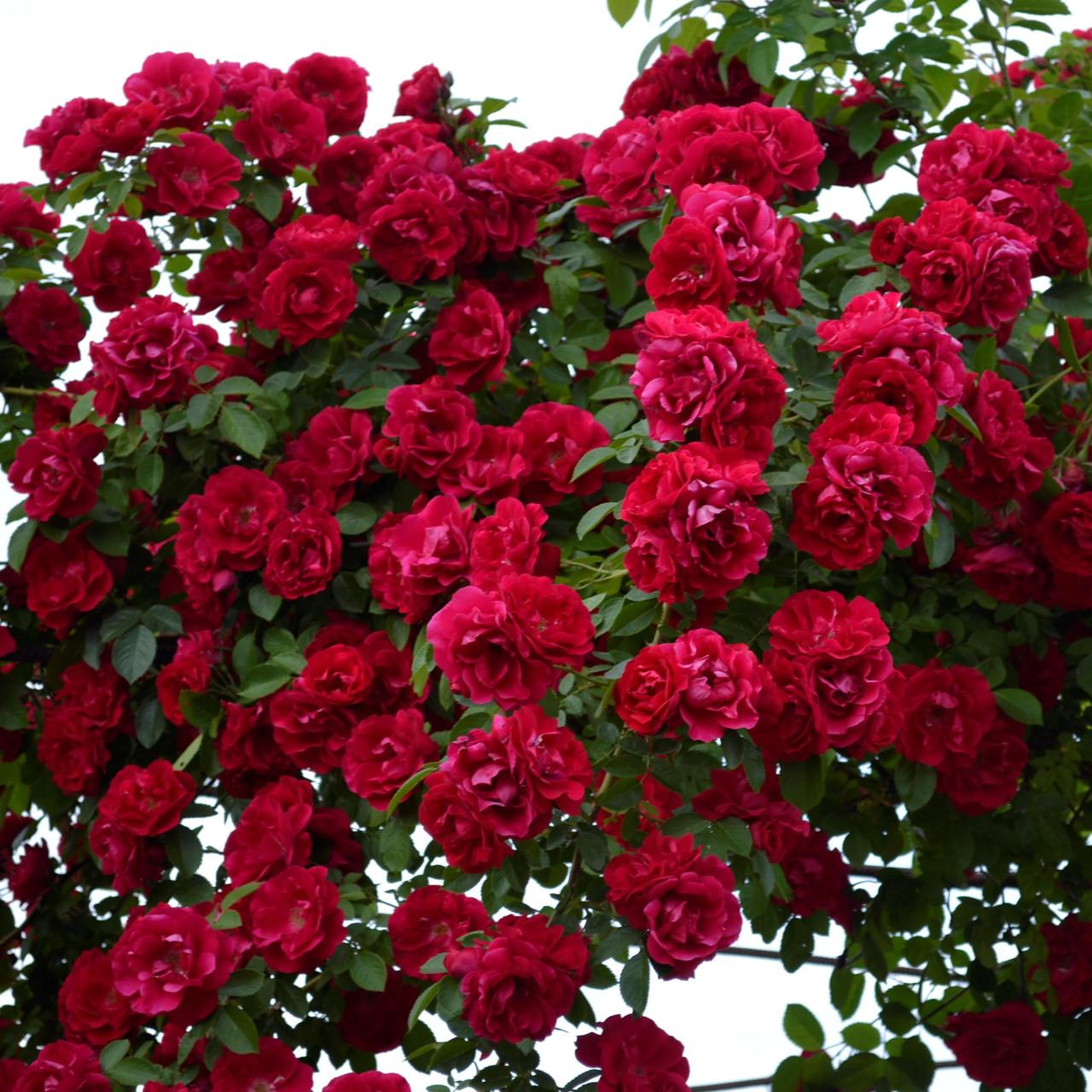 Роза плетистая Фламентанц