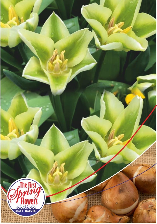 Луковицы Тюльпана Триумф Spring Green (Спринг Гриин) TM Jan de Wit en Zonen B.V. (количество в упаковке 3 луковицы)
