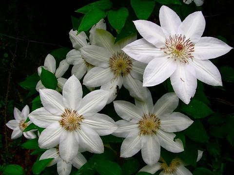 Клематис крупноцветковый Генри