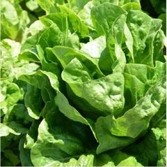 Дикла семена салата ромэн (Hazera / Хазера)